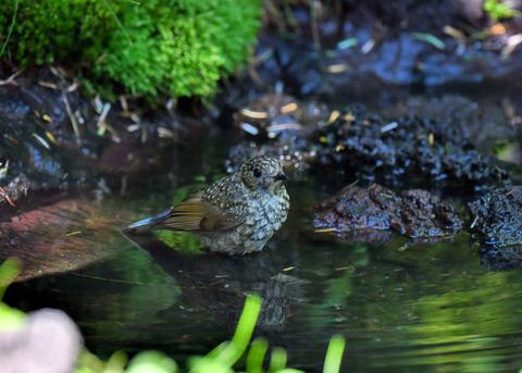 ルリビタキ幼鳥1876