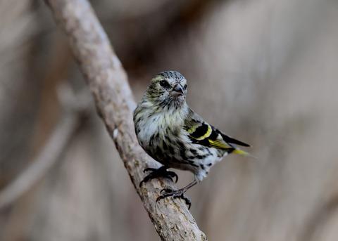 マヒワ若鳥3274