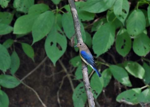 オオルリ♂幼鳥4111