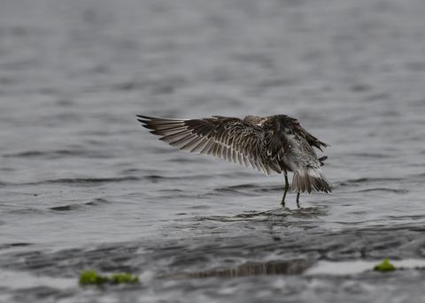 飛ぶ・オバシギ幼鳥4574