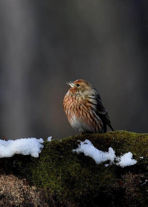 オオマシコ若鳥9562