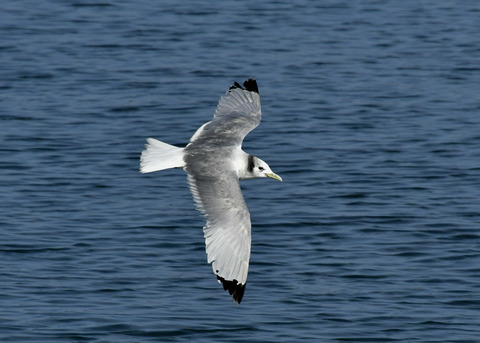 ミツユビカモメ成鳥5365