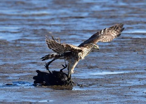 オオタカ若鳥0595