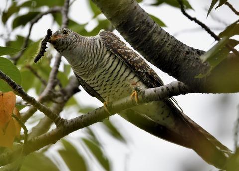 ツツドリ幼鳥5258