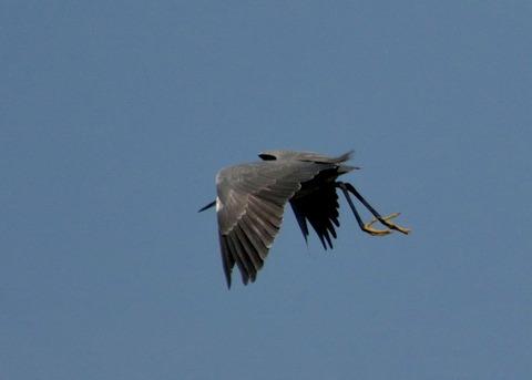飛ぶ・コサギ・暗色型4471
