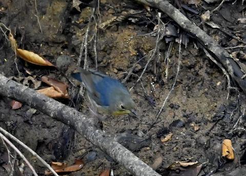 コルリ♂幼鳥2619