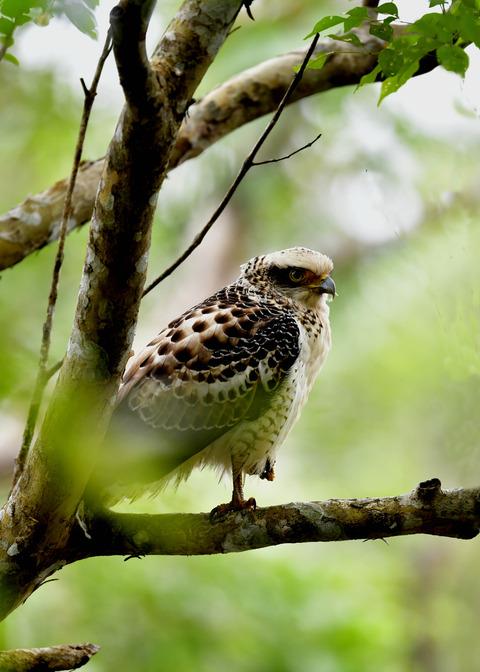 カンムリワシ若鳥6269