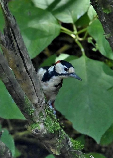 アカゲラ♂幼鳥3039