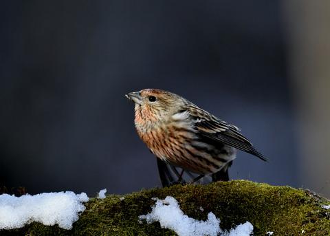 オオマシコ若鳥9570