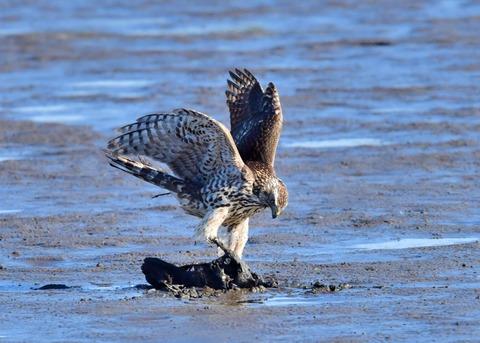 オオタカ若鳥0750