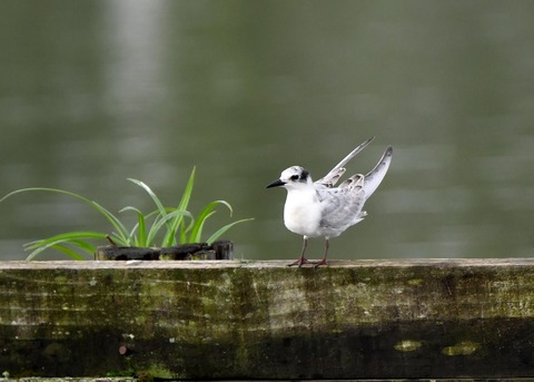 クロハラアジサシ幼鳥3041