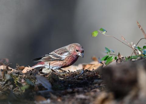 オオマシコ若鳥9426