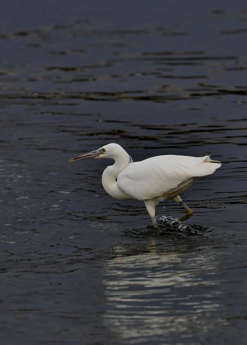 クロサギ白色型7532