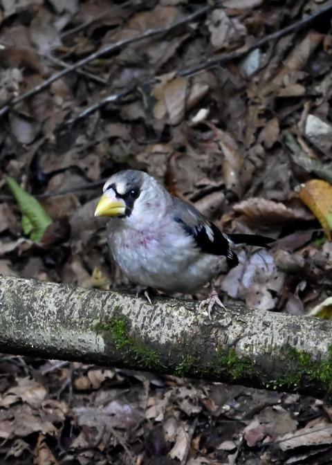イカル幼鳥1224