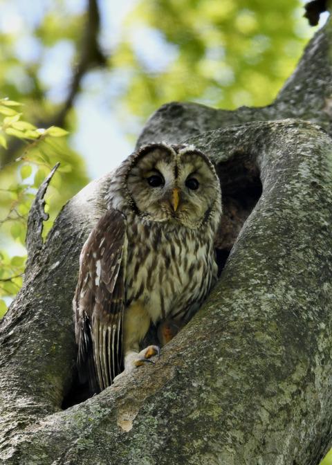 フクロウ♀6253