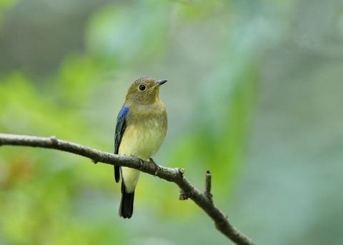 オオルリ♂若鳥1198