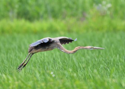 ムラサキサギ若鳥2139
