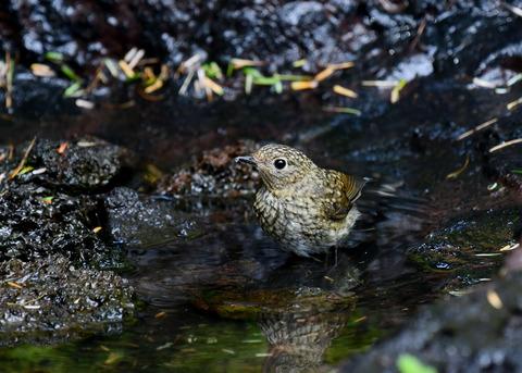 ルリビタキ幼鳥4035