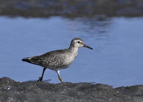 コオバシギ幼鳥0221