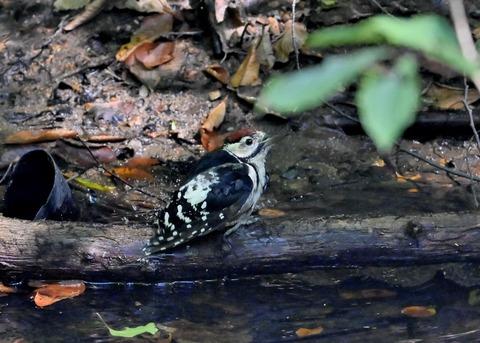 アカゲラ♂幼鳥3649