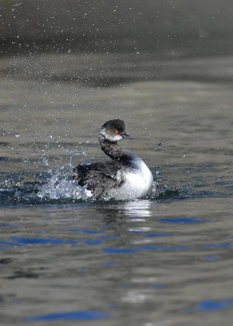 水浴び・ハジロカイツブリ冬羽0763