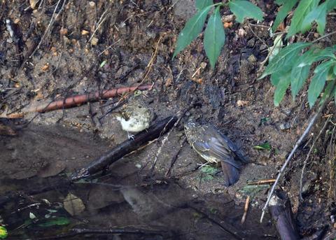 キビタキ・オオルリ幼鳥3815