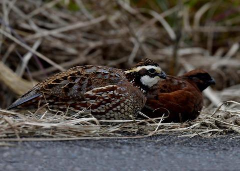 コリンウズラ♂&若鳥5286
