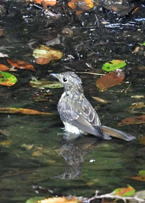 キビタキ幼鳥0797