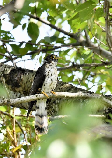 ジュウイチ幼鳥2972