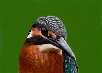 カワセミ幼鳥2001(2211)