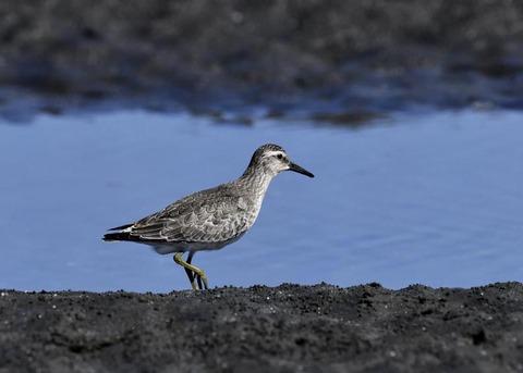 コオバシギ幼鳥0206