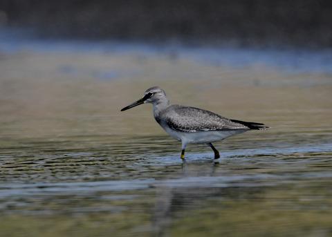 キアシシギ幼鳥9135