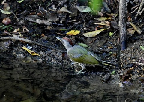アオゲラ幼鳥♂8561