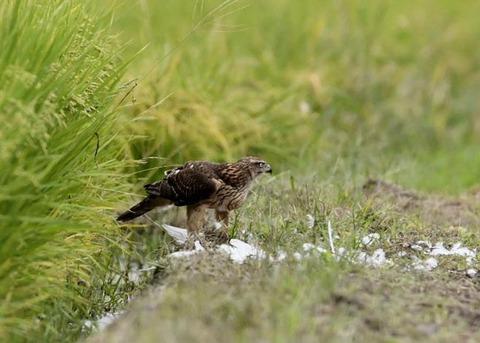 オオタカ若鳥3197