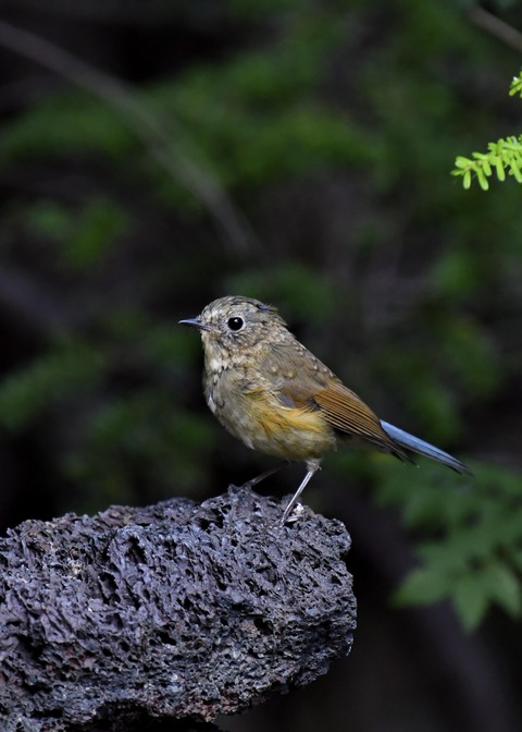 ルリビタキ幼鳥1856