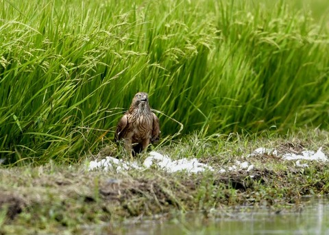 オオタカ若鳥2952