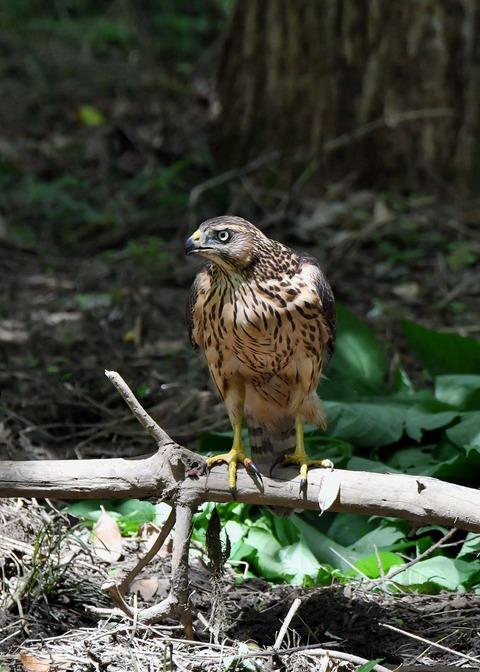 オオタカ幼鳥3562