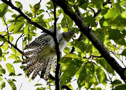 ツツドリ幼鳥5678