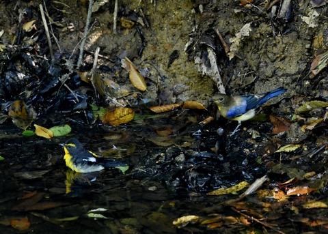 オオルリ♂若鳥1129