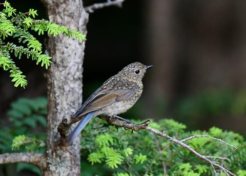 ルリビタキ幼鳥2549