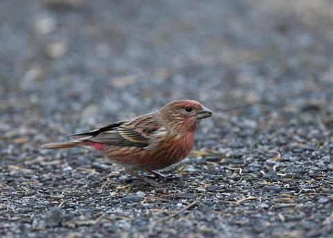 オオマシコ若鳥1733
