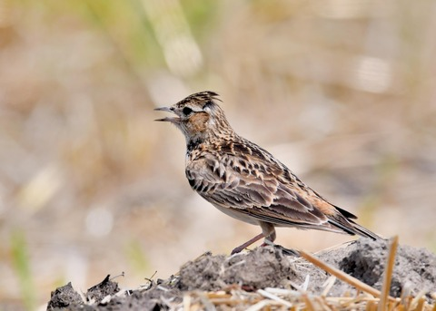ヒバリ若鳥3787