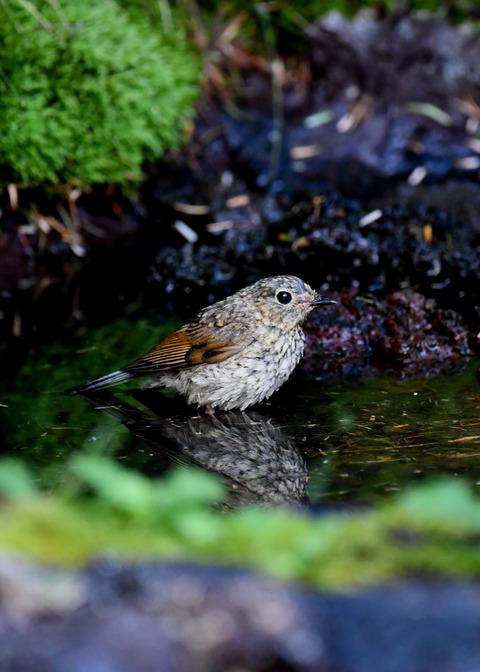 ルリビタキ幼鳥2510