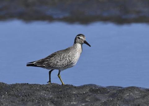 コオバシギ幼鳥0219