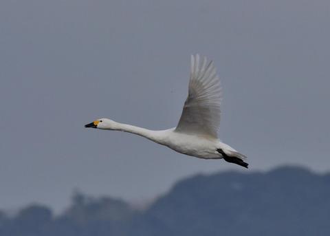 飛ぶ・コハクチョウ0559