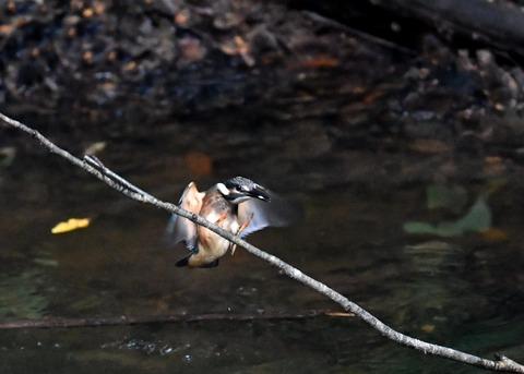 カワセミ若鳥4351