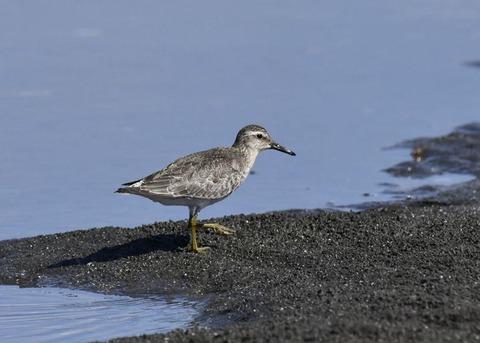 コオバシギ幼鳥0181