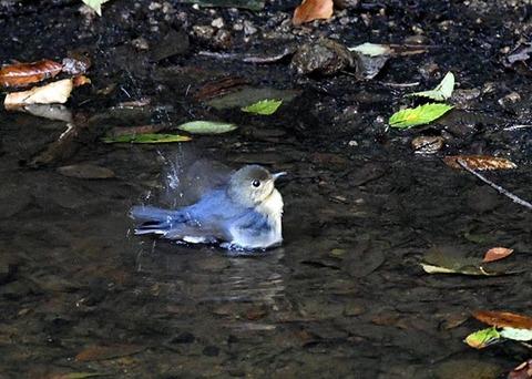 コルリ♂幼鳥7294