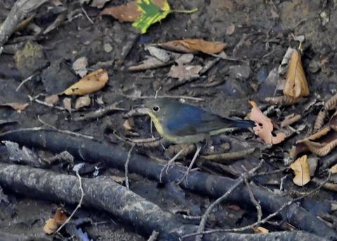 コルリ♂幼鳥2568