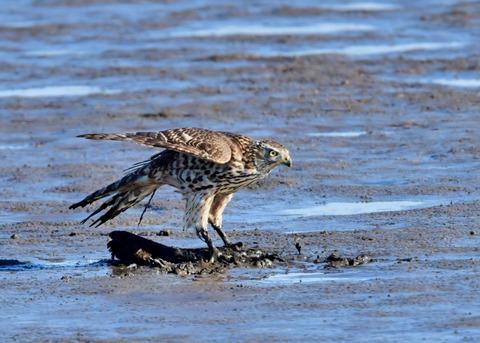 オオタカ若鳥0772